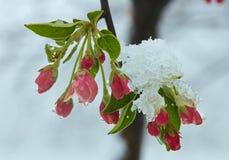 Kwitnąca jabłoń pod śniegiem Obrazy Royalty Free