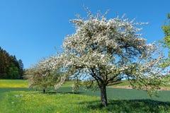 Kwitnąca jabłoń w wiejskim krajobrazie Obraz Stock