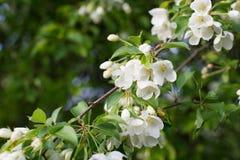 Kwitnąca jabłoń W wiosna czasie Obraz Royalty Free