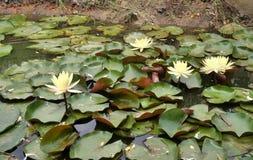 Kwitnąca jaskrawa kolor żółty woda lilly w stawie Zdjęcie Royalty Free