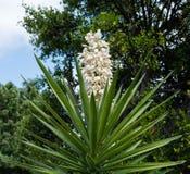 Kwitnąca jukki roślina w Południowym Kalifornia Zdjęcie Stock