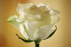 Kwitnąca kolor żółty róża Fotografia Stock