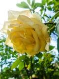 Kwitnąca kolor żółty róża w ogródzie Obrazy Royalty Free