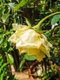 Kwitnąca kolor żółty róża w ogródzie Zdjęcia Royalty Free