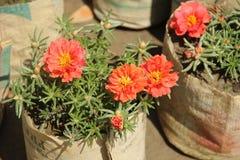 Kwitnąca kwiat róży portulaka obrazy stock