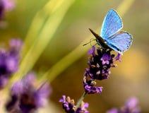 Kwitnąca lawenda z pięknym błękitnym motylem Zdjęcia Stock