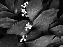 Kwitnąca leluja doliny Convallaria majalis kwiaty na zieleni opuszcza tło w lasowej Czarny i biały fotografii zdjęcia royalty free