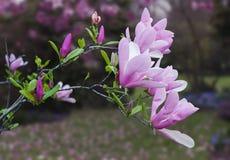Kwitnąca magnoliowa gałąź Obrazy Royalty Free