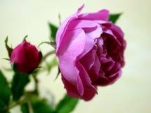 Kwitnąca menchii róża i menchii rosebud Fotografia Royalty Free