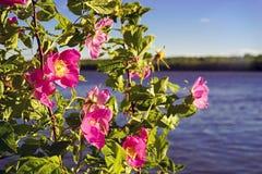 Kwitnąca menchii róża na tle rzeka zdjęcie stock