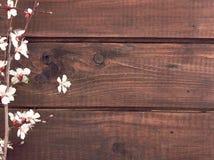 Kwitnąca morela na nieociosanym drewnianym tle tło mleczy spring pełne meadow żółty Obraz Royalty Free