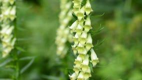 Kwitnąca naparstnica, digitalis grandiflora zdjęcie wideo