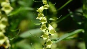 Kwitnąca naparstnica, digitalis grandiflora zbiory wideo