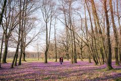 Kwitnąca natura, krokusy, młody podróżnik zdjęcie stock