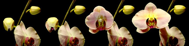 kwitnąca orchidea Obraz Stock