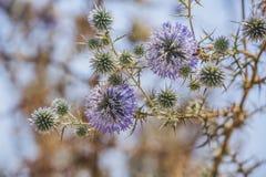 Kwitnąca pherical cierniowa kostnica Cypr roślina zdjęcie royalty free