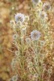 Kwitnąca pherical cierniowa kostnica Cypr roślina fotografia stock