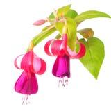 Kwitnąca piękna gałązka lily i czerwony fuksja kwiat jest isola Zdjęcia Stock