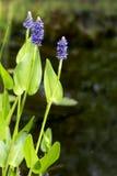 Kwitnąca pickerelweed roślina wodna w dziąsłach (Pontederia cordata) obrazy royalty free