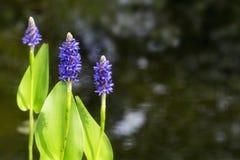 Kwitnąca pickerelweed roślina wodna w dziąsłach (Pontederia cordata) Zdjęcie Royalty Free