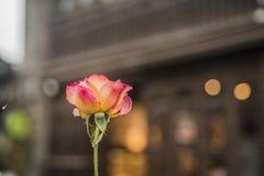 Kwitnąca pomarańczowoczerwona róża fotografia royalty free
