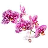 Kwitnąca pstrobarwna lila orchidea, phalaenosis odizolowywający na bielu Zdjęcia Royalty Free