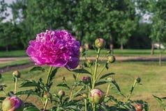 Kwitnąca purpurowa peonia Fiołkowa peonia w miasto ogródzie obraz royalty free