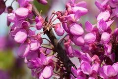 Kwitnąca różowa akacja kwitnie na gałąź, zakończeniu w górę i zamazanym tle, zdjęcia royalty free