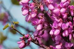 Kwitnąca różowa akacja kwitnie w wiośnie i zamazanym niebieskim niebie w tle obraz stock