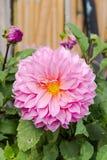 Kwitnąca różowa dalia Obrazy Stock