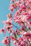 Kwitnąca różowa magnolia Zdjęcia Royalty Free