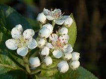 Kwitnąca słodka wiśnia Zdjęcie Stock