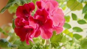 Kwitnąca semperflorens begonia w garnku, Ogrodowy kwiatu ? zbiory wideo