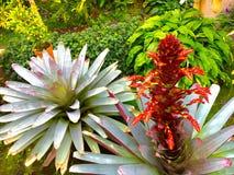 Kwitnąca Tropikalna roślina Zdjęcie Stock