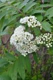 Kwitnąca wiązka rowan na dżdżystym chmurzącym letnim dniu Fotografia Stock