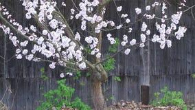 Kwitnąca wiśnia na tle stary zaniechany dom zdjęcie wideo