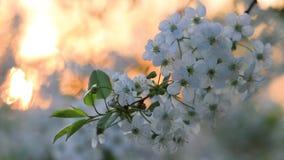 Kwitnąca wiśnia przeciw powstającemu słońcu zbiory wideo