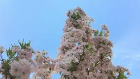 Kwitnąca wiśnia przy parkuje zdjęcie wideo