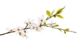 Kwitnąca wiosny czereśniowego drzewa odizolowywająca gałąź zdjęcie stock