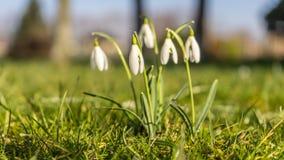 Kwitnące śnieżyczki Obraz Stock
