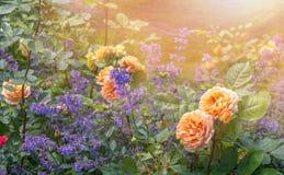 Kwitnące żółte pomarańczowe róże w ogródzie na słonecznym dniu Charles Austin ` Wzrastał fotografia royalty free