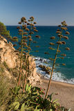 Kwitnące agawy na plaży Costa Brava, Hiszpania Obraz Stock