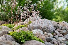 Kwitnące badanu umbrosa rośliny w małym rockery w lecie uprawiają ogródek obraz stock