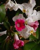 Kwitnące domowe rośliny, wiosna czas Fotografia Royalty Free