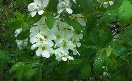 Kwitnące gałąź whith krople Zdjęcie Stock