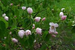Kwitnące gałąź whith krople Obraz Royalty Free