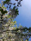 Kwitnące jabłoni gałąź Biali kwiaty przeciw jaskrawemu ?wiat?u s?onecznemu i niebieskiemu niebu niebieska spowodowana pola pe?ne  zdjęcia stock