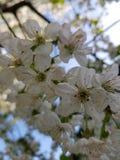 Kwitnące jabłoni gałąź Biali kwiaty przeciw jaskrawemu ?wiat?u s?onecznemu i niebieskiemu niebu niebieska spowodowana pola pe?ne  zdjęcia royalty free