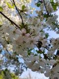 Kwitnące jabłoni gałąź Biali kwiaty przeciw jaskrawemu ?wiat?u s?onecznemu i niebieskiemu niebu niebieska spowodowana pola pe?ne  fotografia stock