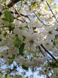 Kwitnące jabłoni gałąź Biali kwiaty przeciw jaskrawemu ?wiat?u s?onecznemu i niebieskiemu niebu niebieska spowodowana pola pe?ne  obraz stock